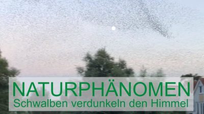 Naturphänomen - Schwalben verdunkeln den Himmel - Schakelvilla - Ferienhaus mit Ruderboot und Sauna am IJsselmeer in Makkum